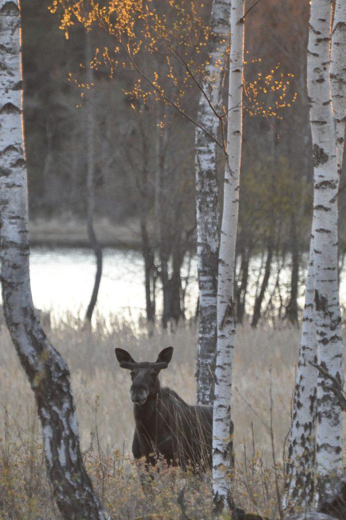 Elk/moose Sågarbo herrgård