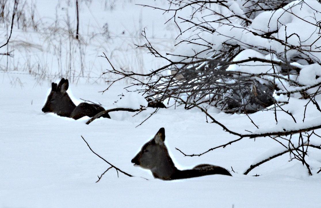 Sågarbo herrgård stuguthyrning, Deer resting in snow